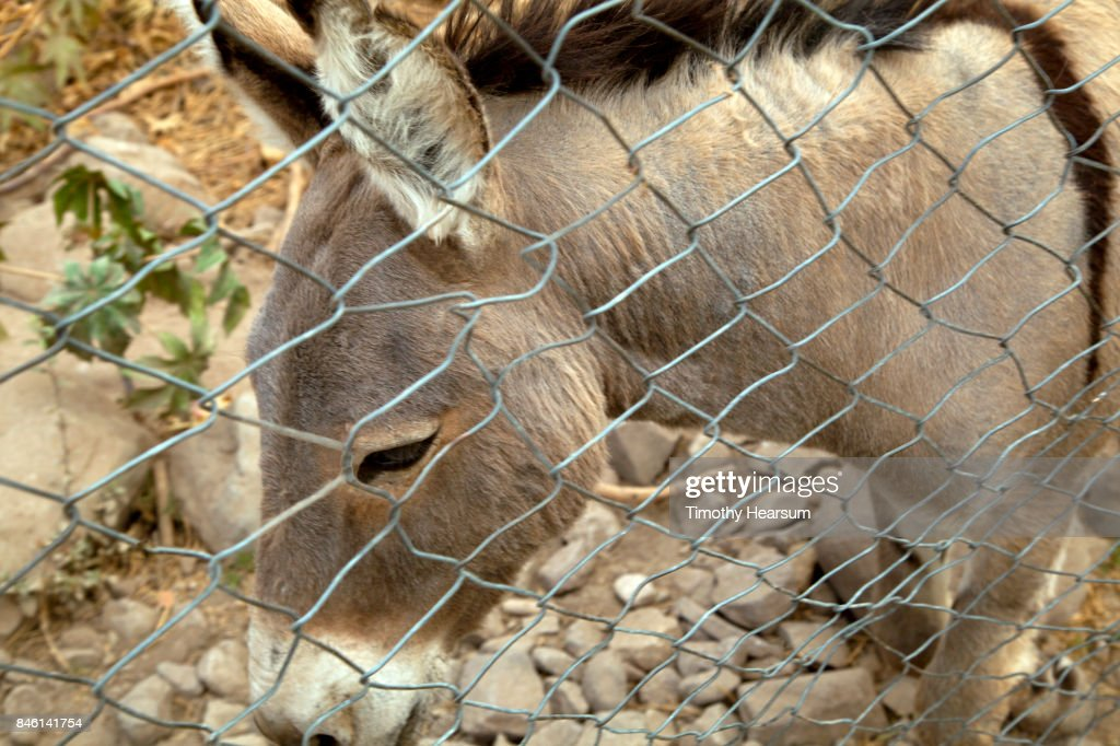 Close-up view of a burro behind a chain link fence : Stock Photo