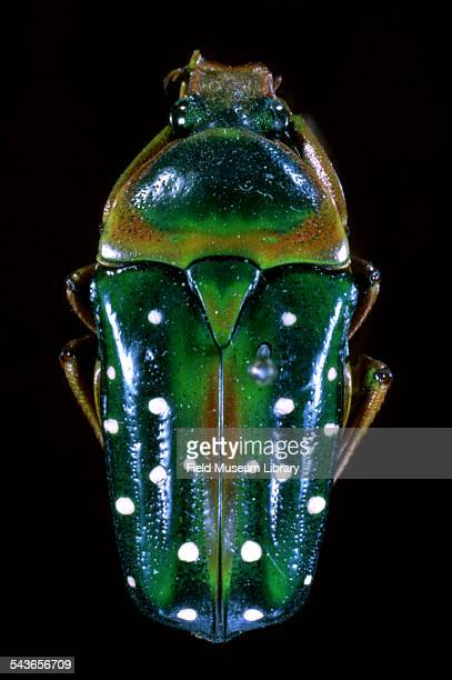 Closeup view of a Cetonid Scarab beetle an individual specimen mounted against a black background in Hall 18 of the Field Museum Chicago Illinois 1962
