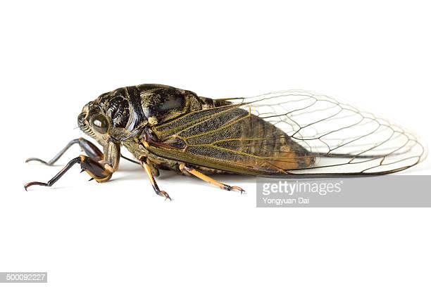 Close-up view of a cicada isolated on white