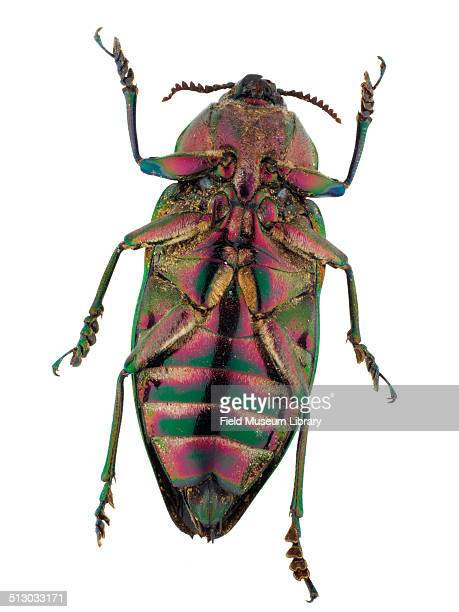Closeup view of a Cieba Borer beetle Euchroma gigantea Laporte Gory May 30 1990