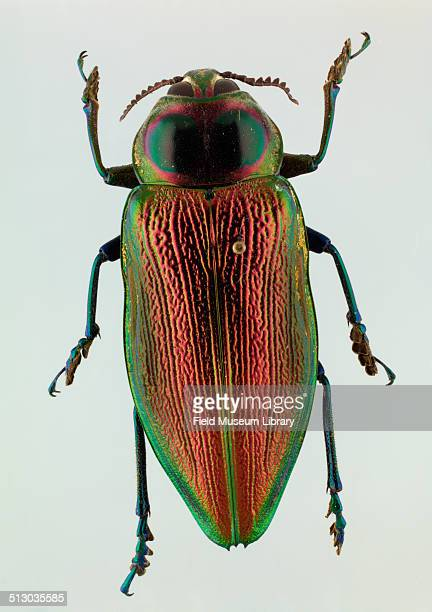 Closeup view of a Cieba Borer beetle Euchroma gigantea May 30 1990