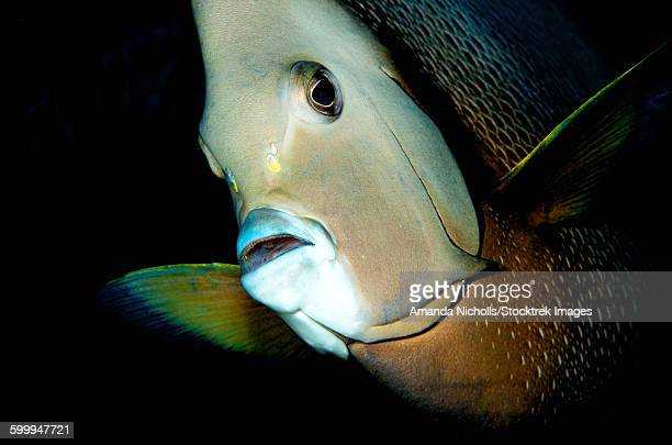 Close-up view of a gray angelfish, Grand Cayman.