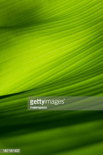 Closeup view of a green banana leaf