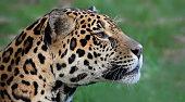 Close-up view of an adult male Jaguar (Panthera onca)