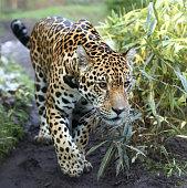 Close-up view of a walking Jaguar (Panthera onca)
