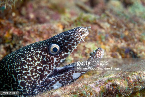 Close-up view of a Spotted Moray Eel with an open mouth, Key Largo ...