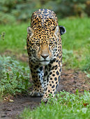 Close-up view of a walking Jaguar (Panthera onca)