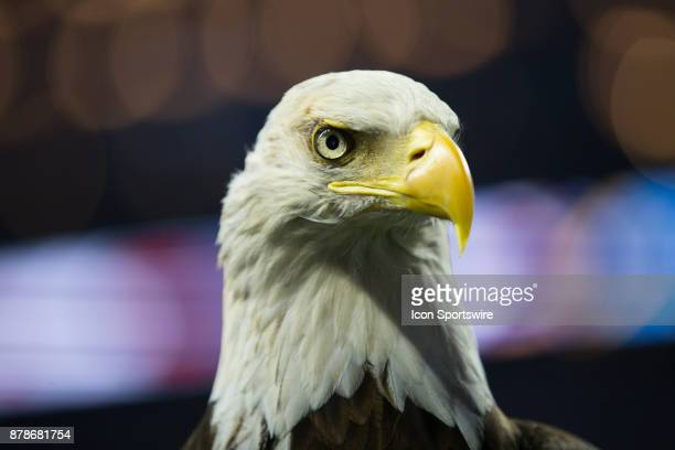 A closeup view of Challenger the bald eagle that flew around the stadium during the playing of the national anthem as it sits on its handler's arm...
