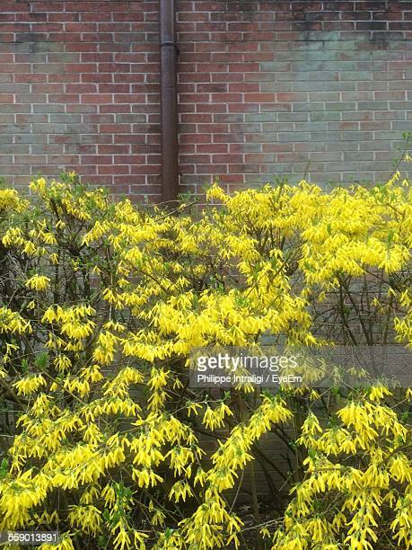 Close-Up View Of Forsythia In Bloom