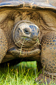 Close-up view of giant tortoise (Geochelone gigantea) feeding on grass. Seychelles