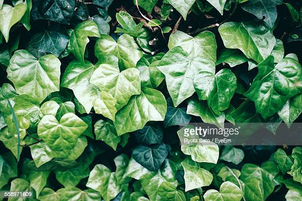 Close-Up View Of Green Ivy Leaves