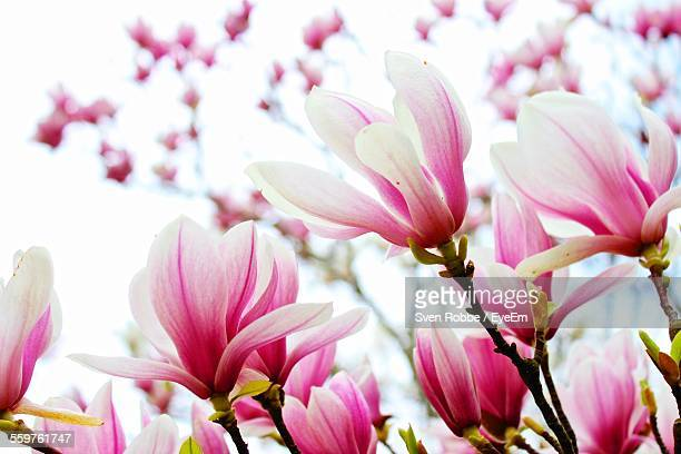 Close-Up View Of Magnolia Flowers