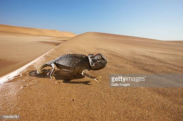 Close-up view of Namaqua Chameleon (Chamaeleo namaquensis) walking through desert, Namib Desert, Namibia
