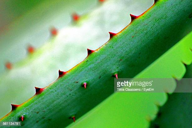 Close-Up View Of Spiky Succulent Plant Leaf