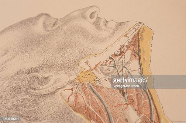A closeup view the dissection neck showing muscles arteries nerves and tissue to the end of the clavicle 1882 From 'Illustrations of Dissections in a...