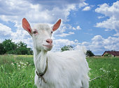 Close-up portrait of white adult goat grassing on green summer meadow field at village countryside