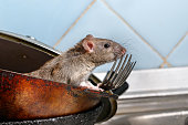 Close-up young rat (Rattus norvegicus) looks out of the dirty pan with forks on background of blue tile in kitchen. Concept of rodent control.