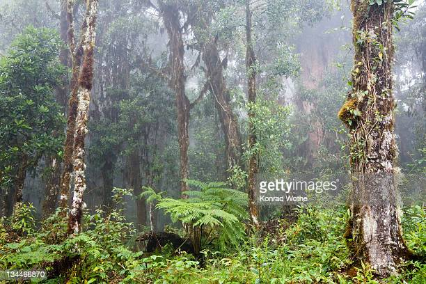 Cloud forest, rainforest at Cerro de la muerte, Costa Rica, Central America