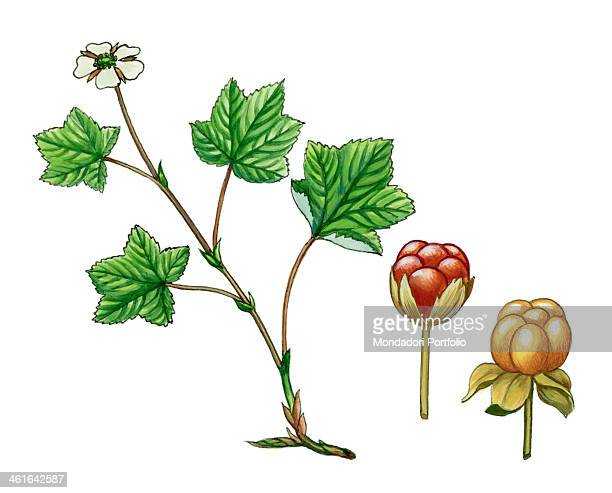 Cloudberry by Giglioli E 20th Century ink and watercolour on paper Whole artwork view Drawing of the plant with fruits and flowers