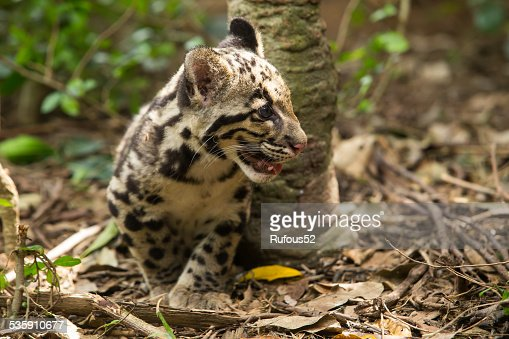 Clouded Leopard (Neofelis Nebulosa) : Stock Photo