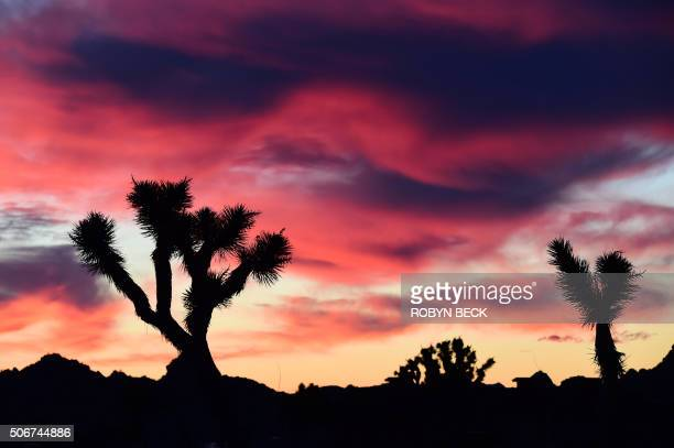 Clouds illuminated by the predawn sun frame Joshua Trees in Pioneertown California in the Mojave Desert January 25 2016 Pioneertown an Old West town...