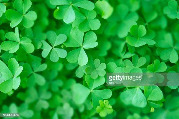 Clover leaves, close up, full frame