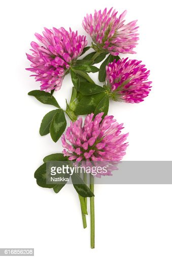 Clover or trefoil flower medicinal herbs isolated : Stock Photo