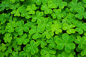 Lush green carpet of clover