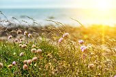 flowers of clover and grass in the sun against the sea, norway