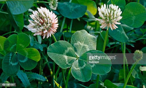 A clover Trifolium sp inflorescence with lucky four leaves found worldwide