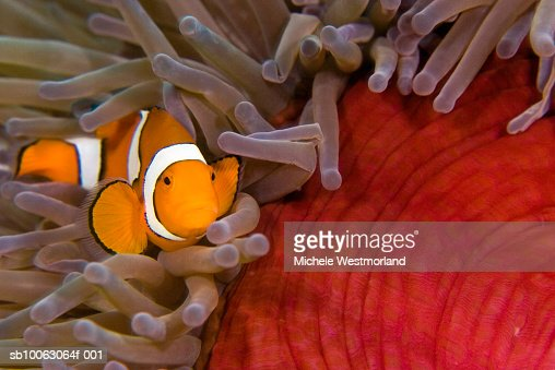 Clown anemone fish (Amphiprion percula) in colourful anemone (Heracticis magnifica) : Stock Photo