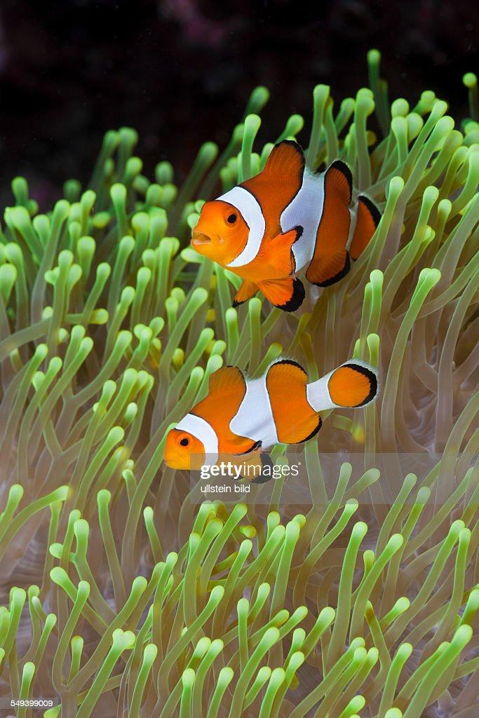 Clown Anemonefish Amphiprion percula Alam Batu Bali Indonesia