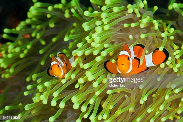 Clown Anemonefish Amphiprion percula Alam Batu Bali Indonesia
