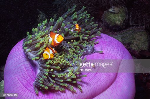 Clown Anemonefish in Magnificant Sea Anemone