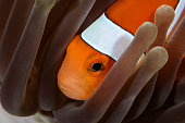 Clown Anemonefish, Indonesia.
