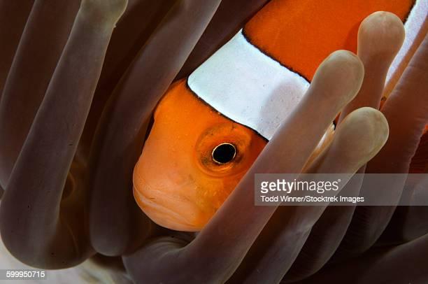 Clown Anemonefish, Indonesia.