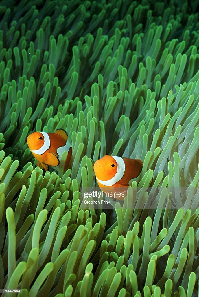 Clown anemonefish (Amphiprion percula) : Stock Photo