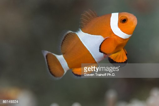 Clown Anemonefish (Amphiprion ocellaris)