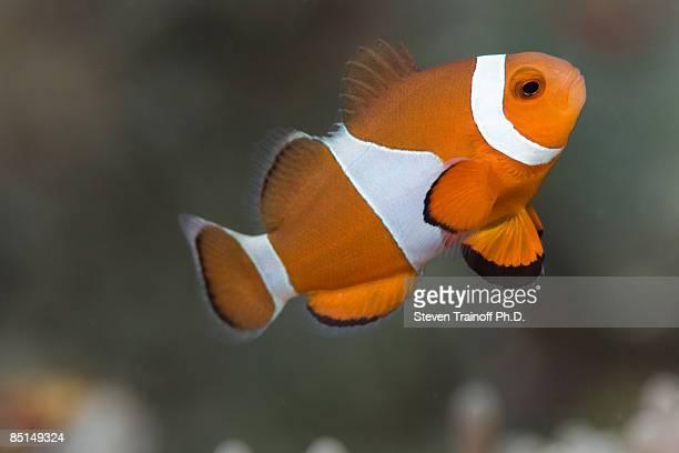 Clown Anemonefish (Amphiprion ocellaris)