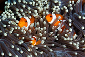 Clown Anemonefishes, Bali
