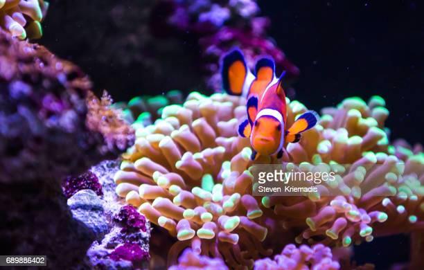 Clown Fish against Coral