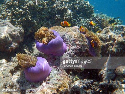 Clown Fish (Ocellaris clownfish) And Sea Anemones With Purple Tubular Bodies