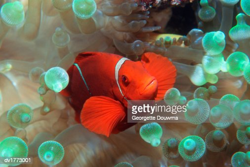 Clown Fish, Banda Sea, Indonesia : Stock Photo