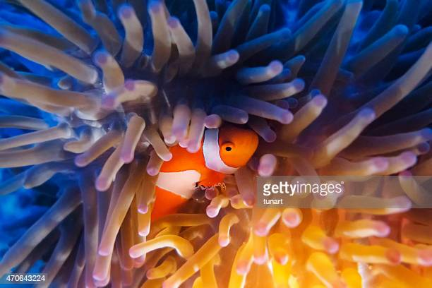 Clown Fish hiding in Anemone
