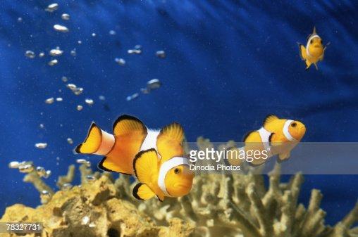 Clown fish in aquarium : Stock Photo