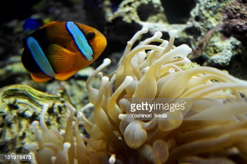 Clown fish in sea : Stock Photo