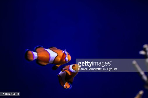 Clown fish in sea