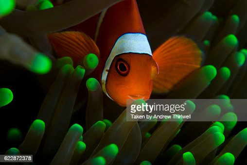 Clown Fish on Green Anemone : Stock Photo