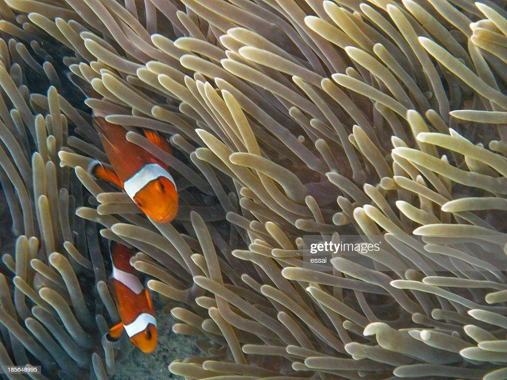 Clown fish (ko phi phi)