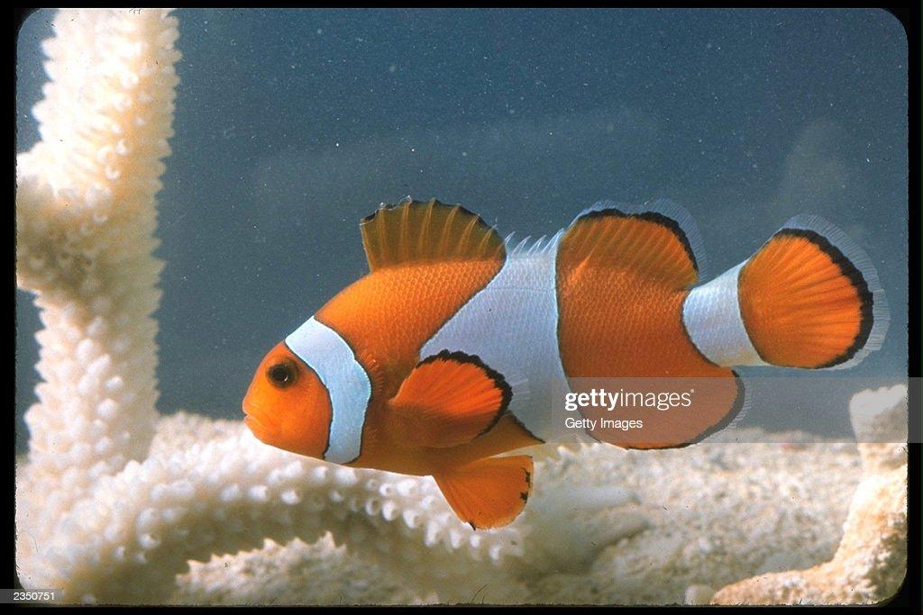 A clown fish swimming near coral 1990s